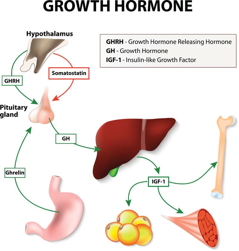 Understanding Human growth hormone (HGH)